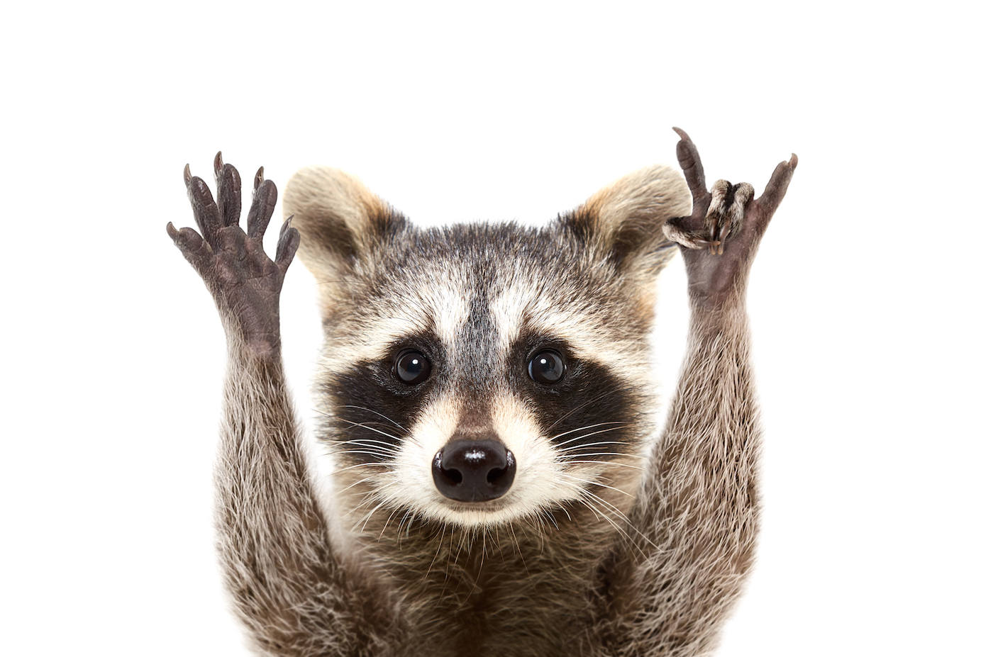 Racoon Raised Hands 1400x927